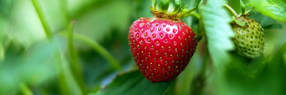 Picture of Strawberries Growing