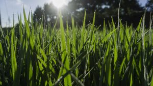 featured image for the best fertilizer for grass in summer