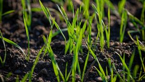 grass seed growing
